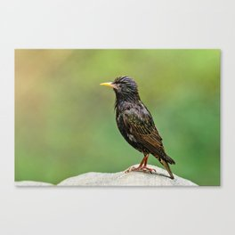 European Starling in Central Park Canvas Print