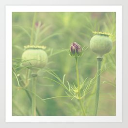 Poppy seed heads Art Print