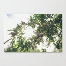 Almond Tree Canvas Print