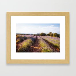 Lavender Fields at Sunset Framed Art Print