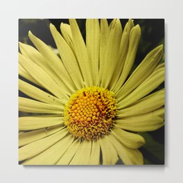 Yellow African Daisy Metal Print