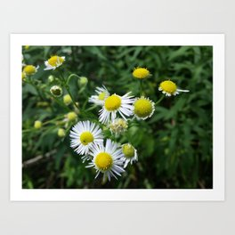 Daisies Blowing in the Wind Art Print