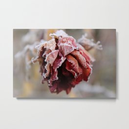 Frost on a Rose Metal Print