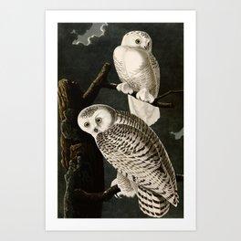 Snowy Owl Vintage Bird Illustration - Audubon Art Print