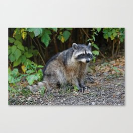 Diurnal Raccoon Poses on the Gravel Canvas Print