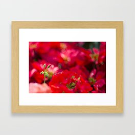 Christmas Poinsettia Buds In Vivid Red Framed Art Print