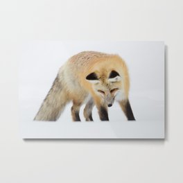Red Fox Hunting Intently Metal Print