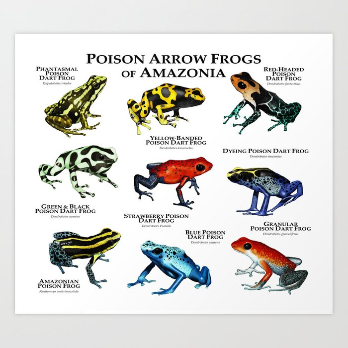 https://ctl.s6img.com/society6/img/-MLj-QZzJj5ps-R23HKUjChTrik/w_700/prints/~artwork/s6-original-art-uploads/society6/uploads/misc/c7d917ae5495485fb0273550226cd0ba/~~/poison-arrow-frogs-of-amazonia-prints.jpg