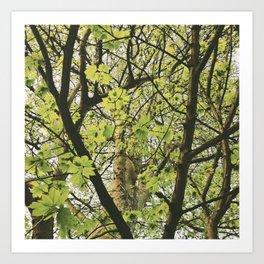 Sycamore tree leaves (Acer pseudoplatanus). Norfolk, UK. Art Print