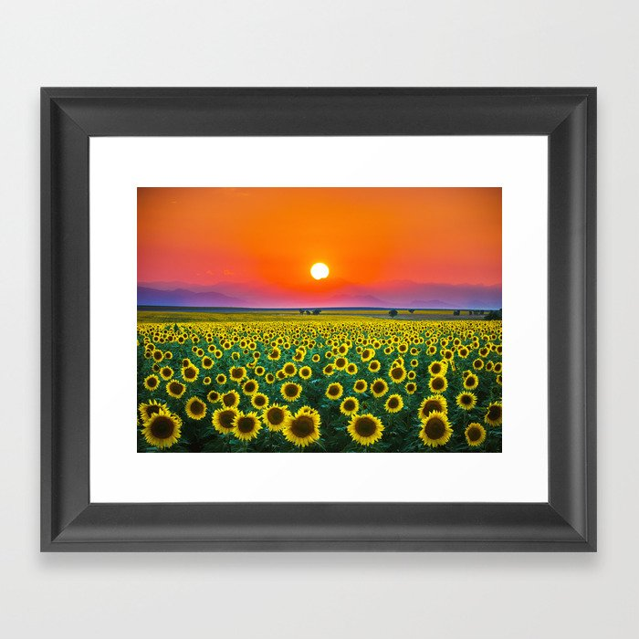 Sunflower Haze Gerahmter Kunstdruck