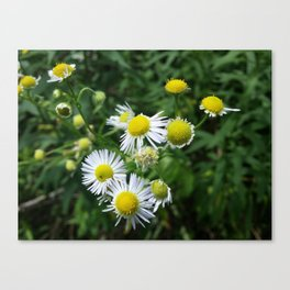 Daisies Blowing in the Wind Canvas Print
