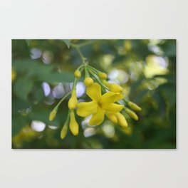 Close Up Of Carolina Jasmine Canvas Print