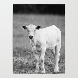 Black and White Calf Poster