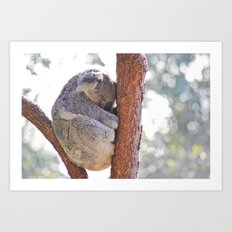 Sleeping in the Trees - Koala Bear Art Print