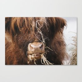 Highland cow feeding on straw on a frosty winters morning. Norfolk, UK. Canvas Print
