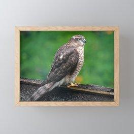 Sparrowhawk Framed Mini Art Print