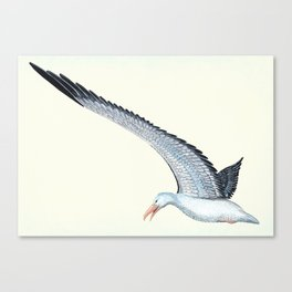 Toaroa in flight Canvas Print