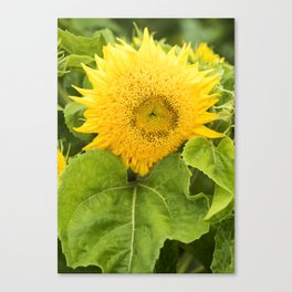 Teddy Bear Sunflower Alternate Perspective Canvas Print