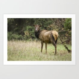Female Wapiti Art Print