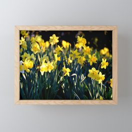 DAFFODILS IN THE LATE SPRING AFTERNOON LIGHT Framed Mini Art Print