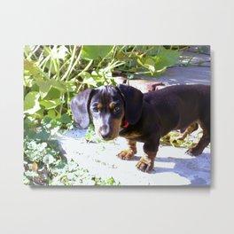 Dachshund puppy in the garden Metal Print