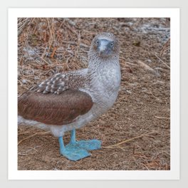 SmartMix Animal- Blue-footed Booby Art Print