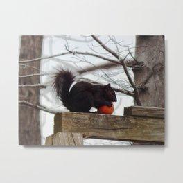 Black squirrel enjoying apple Metal Print