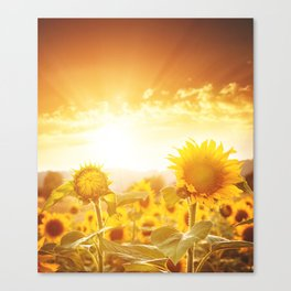 majestic sunflower field Canvas Print