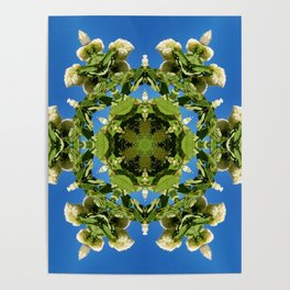 Hydrangea kaleidoscope - white flowers, green leaves, blue sky 161134 k6 Poster