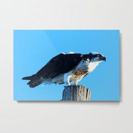 Osprey On A Pole Metal Print