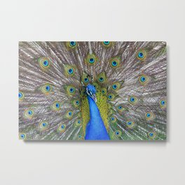 The Peacock fancy feathers dress Metal Print