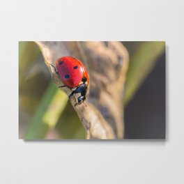 Seven-Spotted Lady Beetle Metal Print