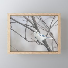 Azure tit, white prince Framed Mini Art Print