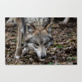 Mexican Gray Wolf Canvas Print