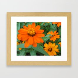 Orange Echinacea Sombrero Coneflowers Framed Art Print