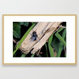 Bluebottle or Blow Fly Framed Art Print