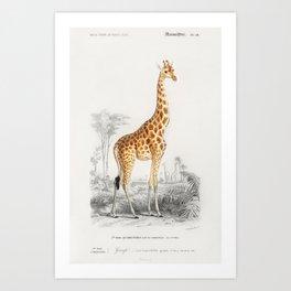 Giraffe (Giraffa camelopardalis) Art Print
