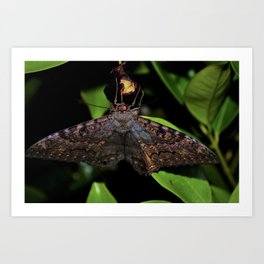Night Moth Art Print