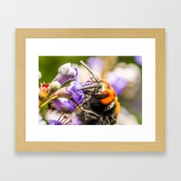 Japanese Giant Hornet, Vespa Mandarinia Japonica, Gathering Flower Pollen, Bee, Insect Macro Photo Framed Art Print