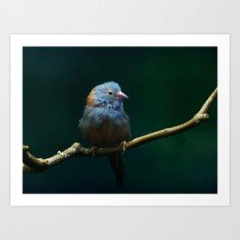 Cordon Bleu Canary Art Print