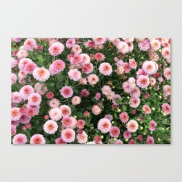 Beautiful pink flower field, shallow depth of field. Natural background with pink flowers, pink chry Canvas Print
