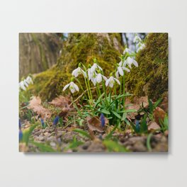 Snowdrops in march Metal Print