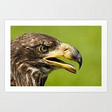 Bald Eagle - juvenile Art Print