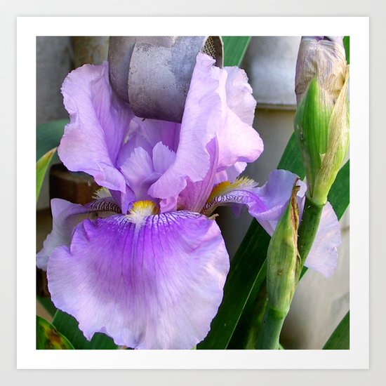 Purple Iris 2 Art Print