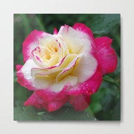 Double Delight Rose - Red and cream beauty Metal Print