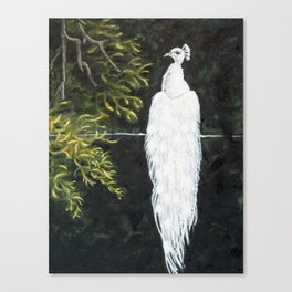 White Male Peacock in Tree Canvas Print
