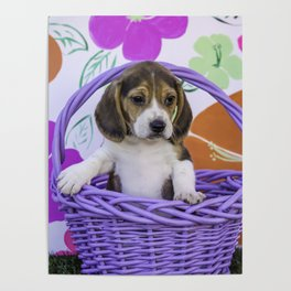 Beagle Puppy Sitting up in a Purple Basket with His Paw on the Edge Poster