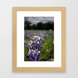 Field of Blue Bonnets Framed Art Print