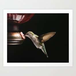 Ruby Throated Hummingbird at the feeder in Wisconsin Art Print