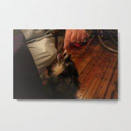 begging chihuahua Metal Print